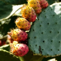 Perfect prickly pear
